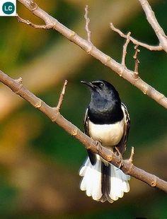 https://www.facebook.com/WonderBirds-171150349611448/ Chích chòe than; Họ Đớp ruồi cựu thế giới-Muscicapidae; Tiểu lục địa Ấn Độ và Đông Nam Á    Oriental magpie-robin (Copsychus saularis); IUCN Red List of Threatened Species 3.1 : Least Concern (LC)(Loài ít quan tâm).