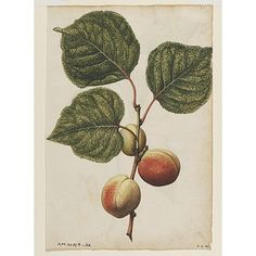 Watercolour | Le Moyne de Morgues, Jacques |