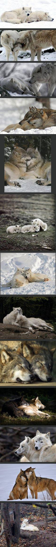 gep                                                       … #wolves