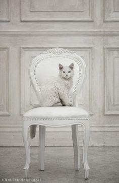 #cat #white #animal #beautiful #furniture