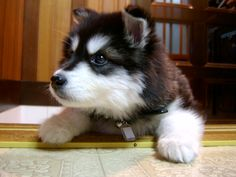 I love husky puppies. Cutie Pie ^O-O^ #Nykslilbudd