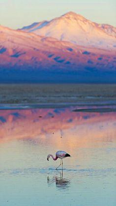 Photographic Print: Flamingo, Pink Sunset above Atacama Desert by longtaildog : Chile Travel Honeymoon Backpack Backpacking Vacation South America Places To Travel, Places To Visit, Travel Destinations, Pink Sunset, Desert Sunset, Photos Voyages, South America Travel, Belle Photo, Beautiful Landscapes