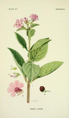 Shining Teedia.Illustration by Mary E. Eaton from 'Addisonia'- Volume 11 . Published by the New York Botanical Garden ( 1916 onwards). Missouri Botanical Gardenarchive.org
