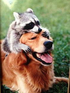 Golden Retriever & Raccoon - Animal Odd Couples That Prove We Really Can All Get Along - Livingly Unusual Animal Friendships, Unlikely Animal Friends, Unusual Animals, Animals Beautiful, True Friendships, Animals And Pets, Baby Animals, Funny Animals, Cute Animals