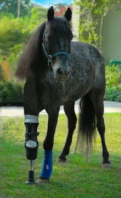 Molly - courageous pony with prosthetic leg