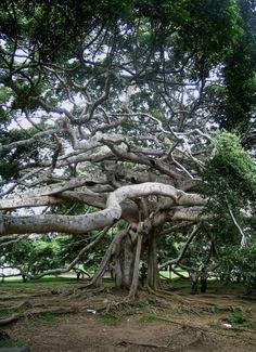Royal Botanical Garden of Peradeniya, Sri Lanka