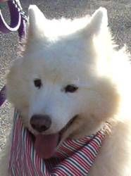 MURPHY is an adoptable Samoyed Dog in Taunton, MA. Approx 5 yrs, Murphy is such a happy and handsome guy! He does need a good bath and grooming -and will be even more handsome then! He came into the ...