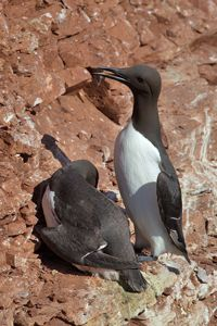 Common Guillemot