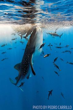 Whale Shark Feeding in Australia - Photo By Pedro Carrillo