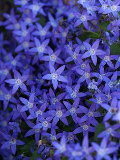 "markunsan: ""Campanula poscharskyana cv. Alpen Blue """