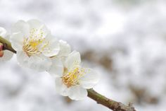 japanese white plum on snow background