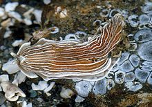 Armina californica - This species occurs in the Eastern Pacific Ocean from Vancouver Island to Panama.
