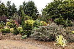 Pinus wallichiana 'Zebrina' - Google Search