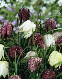Kirjopikarililja, Fritillaria meleagris