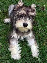 can i please have this miniture schnauzer!!!