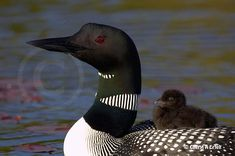 loon and her baby - I love the call of the loon as it echos across the lake...it's so hauntingly beautiful.
