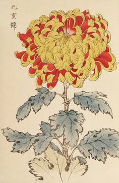 Printed illustration of a chrysanthemum variety taken from the Japanese publication 'A Hundred Chrysanthemums' by K Hasegawa. Creator Hasegawa, Keikwa (Author) Date 1891