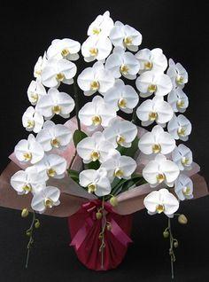 胡蝶蘭: Moth-orchid -- Phalaenopsis