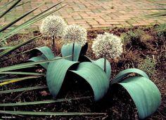 Ornamental Onion (Allium karataviense)
