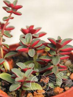 Peperomia rubella https://www.houseplant411.com/houseplant/peperomia-caperata-how-to-grow-care-tips