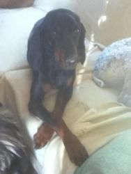 Bella is an adoptable Black And Tan Coonhound Dog in Zaleski, OH. Bella is a feamle black and tan coonhound. She is a beauty. She is a shy girl but very loving. She does climb fences so she needs on a...