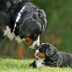 Bernese Mountain Dog Mama & Pup