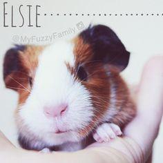 Elsie Bea ❥❥❥ ━━━━━━━━━━━━━━━━━ #guineapig #guinea #pig #cavy #marsvin #cobaye #meerschweinchen #モルモット #豚鼠 #guineap…