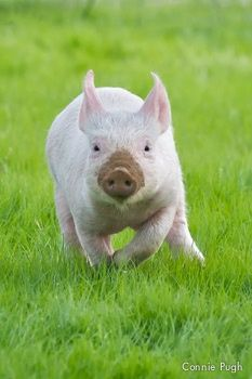I donate yearly to Farm Sanctuary - they rescue animals from factory farms and let them run free!  Blossom running full speed at their Northern California Shelter.