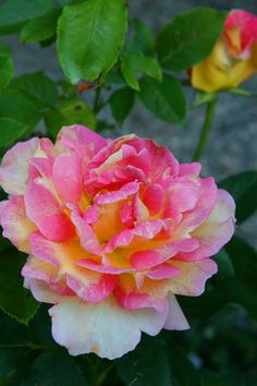French painter's rose
