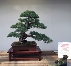 Japanese White Pine Bonsai at the Minnesota Bonsai Society 2016 Mother's Day Show.