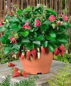 Tristan strawberry