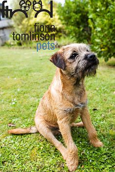 Terrier Our Snoop Dawg is a Border Terrier mix. This is a pure breed Terrier Dogs, Terrier Mix, Pitbull Terrier, Best Dog Breeds, Best Dogs, Border Terrier, Brown Dog, Little Dogs, Dog Life