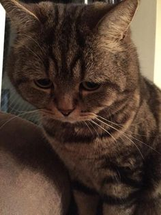 what if we can understand the language of cats Kittens Cutest, Cats And Kittens, Cute Cats, Sad Cat Meme, Cat Memes, Carnival Of The Animals, Sphinx Cat, Kinds Of Cats, Kawaii Cat