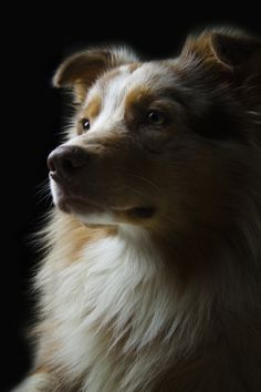"""Red Merl Australian Shepherd"" [Photographer - February 24 This looks EXACTLY like my red merle Boogalee Red Merle Australian Shepherd, Aussie Shepherd, Shepherd Puppies, The Animals, Aussie Puppies, Dogs And Puppies, Doggies, I Love Dogs, Cute Dogs"