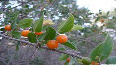 Yunnan Hackberry Fruit