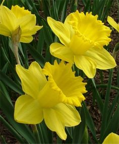 Landscape Sized Trumpet Daffodil King Alfred-II - Naturalizing Narcissi for Landscapers - Narcissi - Flower Bulbs Index