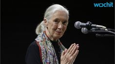 Jane Goodall Reacts To Gorilla Shooting At Cincinnati Zoo | Jane Goodall, 82, sent a letter to Cincinnati Zoo director Thane Maynard about the shooting of gorilla Harambe, and in her letter, Goodall is raising a question that has not been covered in the media. How did the other gorillas react after Harambe was killed, asks Goodall. Jane Goodall wrote her email letter to Cincinna...