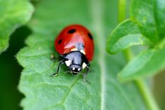 Learn about some interesting facts and superstitions that are associated with the Ladybug. Snowman Cupcakes, Giant Cupcakes, Ladybug Cakes, Hello Kitty Cupcakes, Cupcake In A Cup, Rose Cupcake, Pull Apart Cupcakes, Princess Cupcakes
