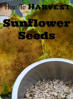 How to harvest sunflower seeds this fall.