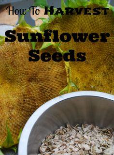 How to harvest Sunflower Seeds- areturntosimplicity.com #Sunflowers #Seeds