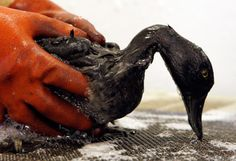 saving+animals | Saving wildlife, like this bird which was polluted from a 2007 spill ...