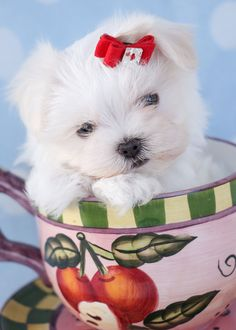 Teacup Maltese Puppies by TeaCups, Puppies & Boutique