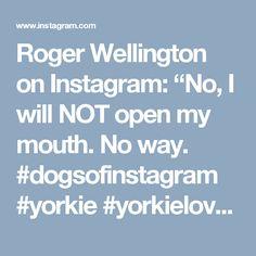 "Roger Wellington on Instagram: ""No, I will NOT open my mouth. No way. #dogsofinstagram #yorkie #yorkielove #dogslife #brushteeth #teeth #dogs #dogs_of_instagram #dogsofig #cute #ilovemydog #iloveyorkies"""