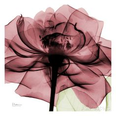 Chic 'Rose X-Ray by Albert Koetsier Photographic Print by Great Big Canvas Wall Art Decor from top store Orange Roses, Purple Roses, Abstract Canvas, Canvas Wall Art, Big Canvas, Xray Flower, Ray Tattoo, Desenho Tattoo, Rose Art