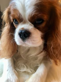 King Charles Puppy, Cavalier King Charles Dog, King Charles Spaniel, Spaniel Puppies, Cocker Spaniel, Cute Dogs And Puppies, Doggies, Adorable Puppies, Cavalier King Spaniel