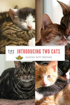 Introducing two cats to each other - here's what you should do to make it easy and safe!
