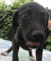 CLARISSA-RESCUED FROM HIGH KILL AC is an adoptable Black Labrador Retriever Dog in Bristol, CT. �DOGTIRED RANCH SPECIALIZES IN PUPPIES AND SMALL DOGS.� GIVE US A CALL IF YOU ARE LOOKING FOR A SPECIAL ...