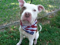 """SAFE 7/20/13 Manhattan LUCKY A0971299 MALE,WHITE/BROWN PIT BULL MIX 1yr Lucky is a fabulous dog whose name does not fit his predicament tonight. He's a volunteer favorite and has wonderful comments written on his walking log by all who have met him."""" Please change his luck tonight. Lucky is available from adoption through the ACC's public adoption site, tonight."""