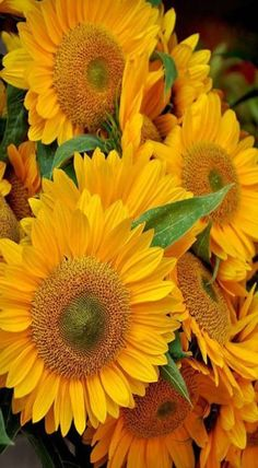 Glorious sunflowers.