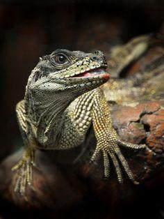 Amboina Sailfin lizard or Soa Soa....Photo by Irawan Subingar
